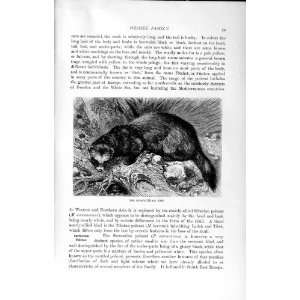 NATURAL HISTORY 1894 POLECAT WEASEL FAMILY WILD ANIMAL
