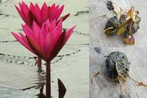 Tubers/Red Water Lily/Nympheae/Lotus Pond Plant