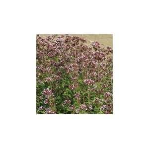 Herb Marjoram Wild (Origanum vulgare) 100 Seeds per Packet Patio