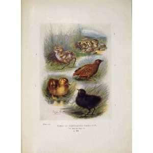 Nidifugous Nestlings Bird Egg Colour Antique Old Print