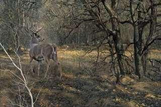 Scott Storm S/N Deer/Buck print MONARCH Whitetail