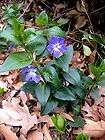 PURPLE CLEMATIS VINES    GROUND COVER CLIMBING VINE